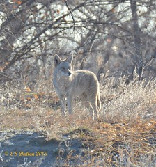 March 14, 2015 - One of Thornton's resident coyotes on patrol. (Ed Dalton)