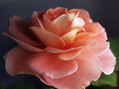 Renaissance Rose 1 (The Julia) Tags: flowers macro rose garden petals renaissance