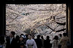 - Cherry blossoms at Tayasu Gate, Tokyo (VesperTokyo) Tags: japan tokyo spring  sakura cherryblossoms  cherrytree     fullblown fullbloom     nikond3 kitanomarugarden tayasugate