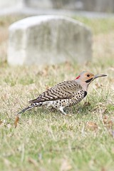 Northern Flicker (E Rabeck) Tags: nyc urban newyork bird cemetery brooklyn greenwood northernflicker colaptesauratus