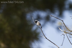 "Blue-gray Gnatcatcher • <a style=""font-size:0.8em;"" href=""http://www.flickr.com/photos/63501323@N07/16846572138/"" target=""_blank"">View on Flickr</a>"