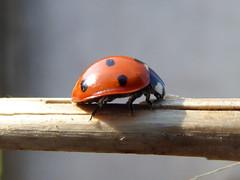 7 spot ladybird, Coccinella septempunctata (laura.piepad) Tags: scotland aberdeenshire ladybird signsofspring coccinellasep