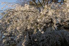 Cherry Blossom of Kyoto Gosho, Kyoto /  (Kaoru Honda) Tags: city nature japan cherry landscape japanese evening spring nikon kyoto               kyotogosho  d7000
