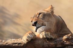 Coco ♀ - Female African Lion (Harimau Kayu (AKA Sumatra-Tiger)) Tags: africa cats male female zoo lion strong felines león leone lioness bigcats löwe leona tobu africanlion femalelion pantheraleo אריה лев félins tobuzoo أسد 狮 femaleafricanlion africancats