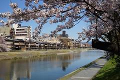 (nobuflickr) Tags: flower nature japan kyoto     weepingjapanesecherry prunusspachianacvitosakura    kamogawariverhananokairou 20150402dsc07645