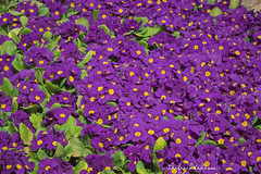 Purple Primrose (thefreckledrose) Tags: flowers plants plant flower nature gardens garden ma spring flora gardening massachusetts grow newengland growing springflowers purpleflower planting flowershow purpleflowers primrose flowergarden springflower springgarden bostonflowershow purpleprimrose springbloom exquisiteflowers newenglandgardens gardenchat bostonflowerandgardenshow
