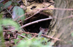 Rat's beady eye (Fuhirees) Tags: park london eye rodent spring rat head hiding hampsteadheath beady 2015 programae tamronaf70300mm456dispvcusd