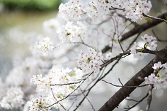 628A3271 (TetuNotable) Tags: kyoto sakura kiyamachi
