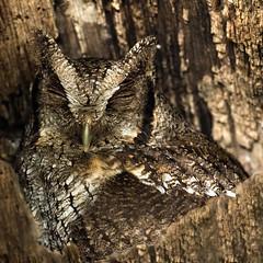 Ghillie Suit (Kamal50) Tags: wild portrait brown nature beautiful animal canon wonder countryside amazing wings branch coconut wildlife aves palm camo camouflage caribbean portofspain birdofprey avifauna chaguaramas westindies tropicalscreechowl megascopscholiba canoneos7dmarkii