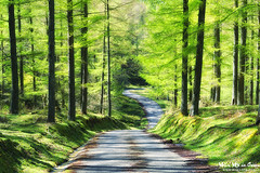 Carretera primaveral (Mimadeo) Tags: road trees light sunlight tree green nature forest way leaf spring bright path sunny trail lane larch footpath larches pathway springtime