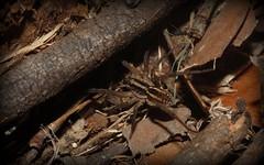 Lycosidae (dustaway) Tags: nature australia nsw arthropoda arachnida wolfspider leaflitter araneae lycosidae araneomorphae australianspiders northernrivers tullera tullerapark