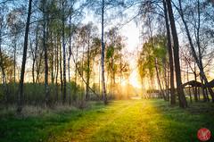 Forest of light (Kasia Sokulska (KasiaBasic)) Tags: trees light sunset forest landscape poland birch mazovian siedleckie