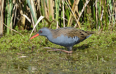 Water Rail at Brandon Marsh (robmcrorie) Tags: ted bird nature water lens ed nikon wildlife birding brandon reserve rail hide marsh coventry nikkor warwickshire vr 56 jury 200500 sssi