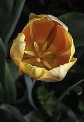 Orange Tulip In A Green World (Bill Gracey) Tags: flower nature fleur ambientlight flor northcarolina naturalbeauty softbox dukegardens naturephotography offcameraflash lastoliteezbox yongnuorf603n yn560iii