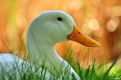 goose (picturedside) Tags: bird animal goose beyaz kaz hayvan doa