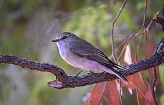 a jacky winter (Fat Burns  (gone bush)) Tags: bird nature robin fauna australianbird smallbird barcaldine australianfauna jackywinter microecafascinans aliceriver nikond750 sigma150600mmf563dgoshsmsports sigmateleconvtc1401nik