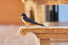 0U1A6741 Tumacacori NHP (colinLmiller) Tags: arizona bird nps nationalparkservice spanishmission doi 2016 nhp unitedstatesdepartmentoftheinterior tumacacorinationalhistoricalpark