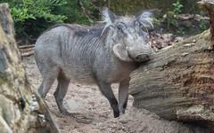 Common warthog 2016-04-14-0018 (BZD1) Tags: animal animals mammal burgerszoo warthog zwijn wrattenzwijn varkens chordata artiodactyla phacochoerus suidae phacochoerusafricanus commonwarthog knobbelzwijn