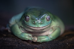 Frog (ToddLahman) Tags: macro canon lowlight frog tokina safaripark sandiegozoosafaripark tokinaatxm100afprod canon7dmkii