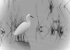 Vignette of an Egret (J @BRX) Tags: uk england blackandwhite bw white lake reflection bird water grey spring pond vignette egret stalking tonal barnsley rotherham southyorkshire littleegret rspb egrettagarzetta wader wombwell oldmoor april2016