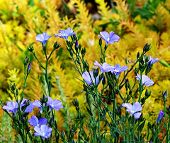 A Few Flax (Colorado Sands) Tags: flowers plant flores flower floral fleur fleurs colorado flor blossoms blossoming lakewood fiori blommor bloemen flax blueflax jeffersoncounty sandraleidholdt narbonneblueflax