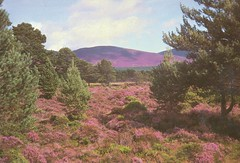 postcard of purple heather (Calluna vulgaris), Scotland (johnjennings995) Tags: scotland purple heather postcard vulgaris calluna callunavulgaris
