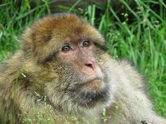 Monkeys at Trentham Monkey (simonbullen85) Tags: canon monkey monkeys canonpowershot canoncamera trenthammonkeyforest sx60 canonsx60hs sx60hs
