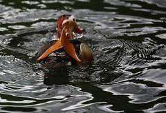The Wet Head (zaktari) Tags: mandarinduck bourne lincolnshire