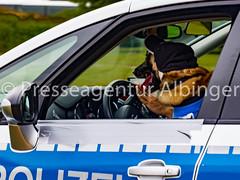 2016-06-11 Polizeiveranstaltung (sandraalbinger) Tags: auto training deutschland tiere europa hessen demonstration reiter ereignisse retter rettung pferd polizei absperrung fulda hunde fahrzeug bulle hubschrauber tatort sirene schuss fahrzeuge polizist dieb polizeiauto opfer wasserwerfer verletzung verletzt pistole blaulicht versammlung reiterin polizeihund schusswaffe festnahme verbrecher osthessen tagderoffenentuer polizeipferd handfesseln polizistin reiterstaffel kommisar bereitschaftspolizei bullerei hilfsorganisation ermittler martinshorn taeter dienststelle hundestaffel vorfuehrung spuerhund polizeiinspektion deutscherschaeferhund huenfeld polizeipraesidium ermittlerin lnder kommisarin belgischerschaeferhund fahrzeugeflugzeuge sprengstoffspuerhund drogenspuerhund hundefuehrer reittraining berufgruppen gewaehr hundevorfuehrung poizeitaucher reitvorfuehrung