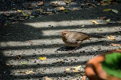 California Towhee (randyherring) Tags: california ca bird leaves closeup backyard afternoon outdoor sanjose depthoffield patio californiatowhee melozonecrissalis