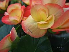 Tonalidades naranja  013 (adioslunitaadios) Tags: colornaranja flores plantasyflores airelibre tonalidadesnaranja macro fujifilm