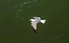 Ring-Billed Gull (bobandcarol71661) Tags: ringbilled gull photo taken pismo beach pier ringbilledgull