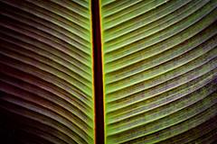 Leaf // Blatt (WODKA & CAMERAS) Tags: red plant abstract green rot texture nature leaves lines leaf pattern outdoor natur pflanze surface diagonal tropical organic grn minimalism blatt draussen oberflche textur tropenpflanze geoemetric