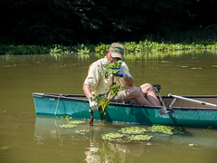 Water Chestnut Removal (AccessDNR) Tags: 2016 waterchestnut invasivespecies removal resourceassessmentservice sassafrasriver georgetown