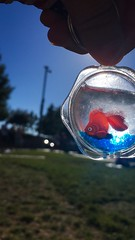 Goldfish on the Go (BenitaMarquez) Tags: california blue sunset sky orange pet sunlight fish silly cute water sunshine northerncalifornia fun toy outside keychain goldfish outdoor novelty fin livermore iphone
