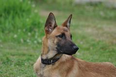 DSC_0025 (IN CANIS SPERAMUS) Tags: belgianshepherd malinois dog dogtraining puppy servicedog dogtrainer incanissperamus