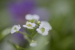 Flower with droplets (joka2000) Tags: sweetalyssum アリッサム
