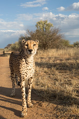 019-Cheetah_008 copy (Beverly Houwing) Tags: africa face closeup cat feline wideangle stare cheetah