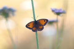 On The Common (Steve W M) Tags: nature bokeh common sunbathing warming gatekeeper meadowbrown lancresse guernseybutterfly guernseymacro