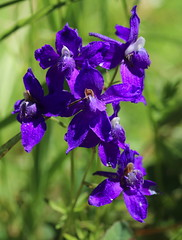 Delphinium_menziesii_McKenzie_1_2 (Mark Egger) Tags: delphiniummenziesii ranunculaceae delphinium menziesii var pyramidale