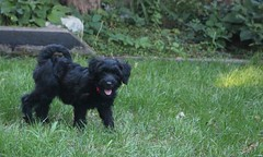 (m.gifford) Tags: tibi whoodle puppy ourpuppy hazel