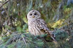 Barred Owl (Strix varia) (R-Gasman) Tags: bird barredowl strixvaria jericho vancouver britishcolumbia canada