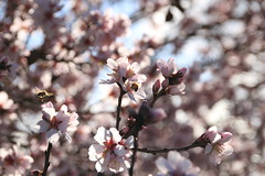 Cherry Blossom Bee's (BattysGambit) Tags: australia country central ne north east winter late flowers victoria canon dsl eos 7d no filter nofilter spring clear sky blue 2016 dookie tatura gouldburn valley murray cherry blossom bees honey makers close up