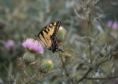 Flutterby (riqwammy) Tags: nature natural butterfly swallowtailbutterfly swallowtail flower animal wildlife flutterby nikon d750 blueridgeparkway virginia bloom nectar outside outdoors recreation hike hiking trail