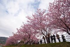 DS7_1752.jpg (d3_plus) Tags: street sea sky plant flower nature car rain japan drive spring scenery cloudy wideangle rainy  cherryblossom  sakura   shizuoka    touring  izu  kawasaki  superwideangle  kawazu          a05  kawazuzakura  1735mmf284 tamronspaf1735mmf284dildasphericalif tamronspaf1735mmf284dildaspherical d700  nikond700 tamronspaf1735mmf284dild tamronspaf1735mmf284 kawazucherryblossom tamronspaf1735mmf284dildasphericalifmodela05