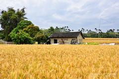 (JI XIAN WEI) Tags: wheat taiwan taichung    daya