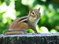 Can I help you? (wynjym) Tags: ontario chipmunk mygarden fiveflickrfavs