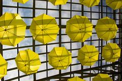 Sun catchers (aerojad) Tags: flowers chicago flower glass yellow umbrella spring flora garfieldpark garfieldparkconservatory chicagoist