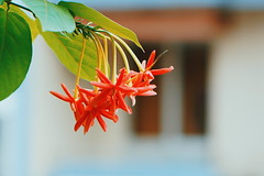 Sunday Morning (iSams) Tags: morning flowers red plants weekend sony sunday honeysuckle creeper sundaymorning rangoon 2015 indicum isam combretum a6000