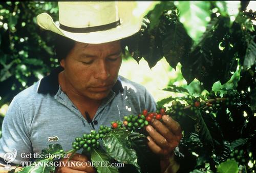 A Mexican Coffee Farmer Inspects Cherries